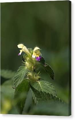 Canvas Print featuring the photograph Nettle by Leif Sohlman