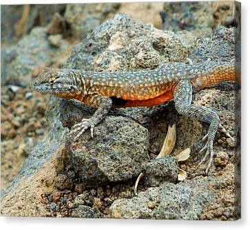 Canvas Print featuring the photograph Nevada Side-blotched Lizard by Heidi Manly