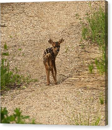 Canvas Print featuring the photograph New Born Mule Deer by Daniel Hebard
