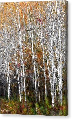 New England Autumn Birches Canvas Print by Bill Wakeley