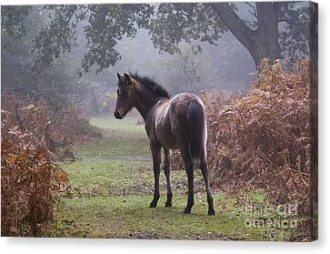 New Forest Pony Canvas Print by Dave Pressland FLPA