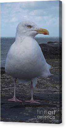 New Quay Gull  Canvas Print by John Williams