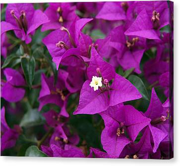New River Bougainvillea Canvas Print by Rona Black