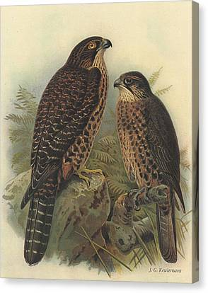New Zealand Falcon Canvas Print by Rob Dreyer