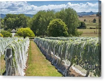 New Zealand Winery Canvas Print by Sheldon Kralstein