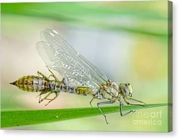 Dragonfly Eyes Canvas Print - Newborn Blue Hawker Dragonfly by Martin Capek