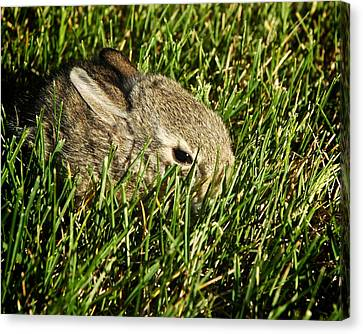 The Baby Cottontail Canvas Print