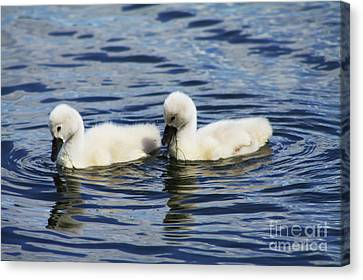 Canvas Print featuring the photograph Newborn Mute Swans by Alyce Taylor