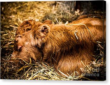 Newborn Nap Canvas Print by Sue OConnor