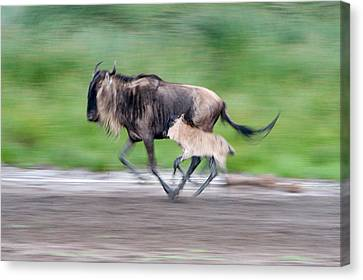 Gnu Canvas Print - Newborn Wildebeest Calf Running by Panoramic Images