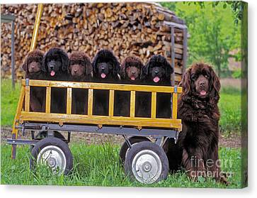 Newfoundland With Puppies Canvas Print