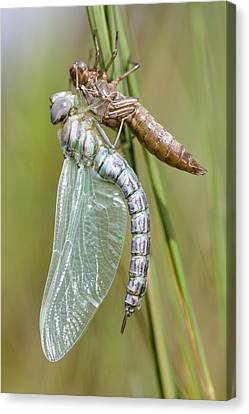 Newly Emerged Subarctic Darner Canvas Print by Alex Huizinga