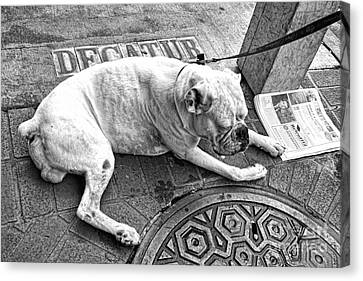 Newsworthy Dog In French Quarter Black And White Canvas Print by Kathleen K Parker
