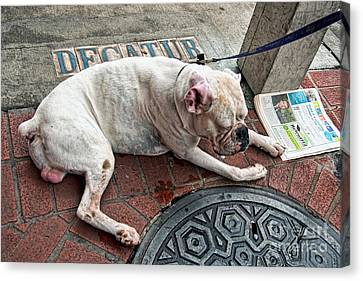 Newsworthy Dog In French Quarter Canvas Print by Kathleen K Parker