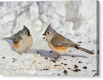 Titmouse Canvas Print - Nice Pair Of Titmice by John Absher