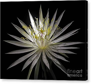Night-blooming Cereus 1 Canvas Print
