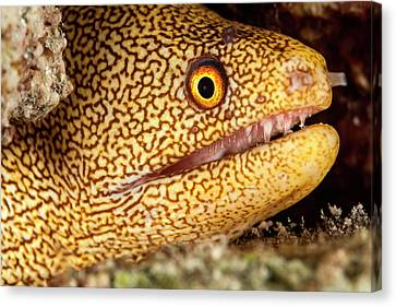 Night Dive Photograph Of Goldentail Eel Canvas Print by James White