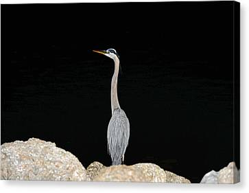 Canvas Print featuring the photograph Night Of The Blue Heron 2 by Anthony Baatz