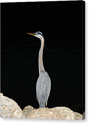 Canvas Print featuring the photograph Night Of The Blue Heron 3 by Anthony Baatz