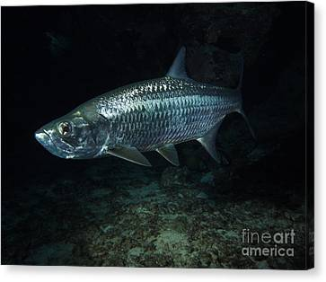 Night Tarpon Canvas Print by Carey Chen