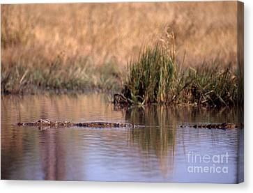 Nile Crocodile Canvas Print by Gregory G. Dimijian, M.D.