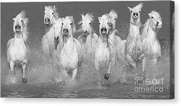 Nine White Horses Run Canvas Print
