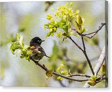 American Redstarts Canvas Print - American Redstart 1 Of 3 by Patti Deters