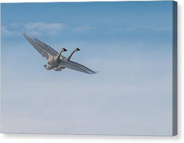 Trumpeter Swans Tandem Flight Canvas Print