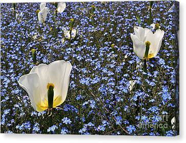 Canvas Print featuring the photograph No More Tulips by Simona Ghidini
