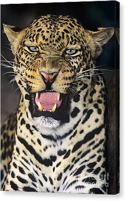 No Solicitors African Leopard Endangered Species Wildlife Rescue Canvas Print by Dave Welling