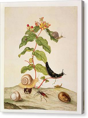 Slug Canvas Print - Hypericum Baxiforum by Maria Sibylla Graff Merian