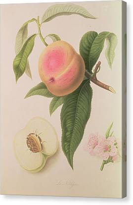 Noblesse Peach Canvas Print by William Hooker
