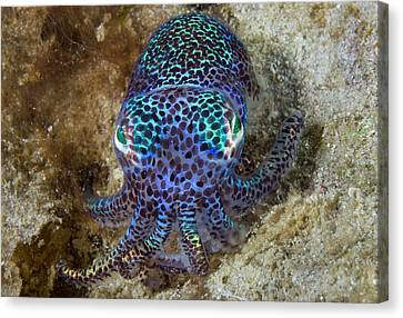 Nocturnal Bobtail Squid (sepiolida Canvas Print