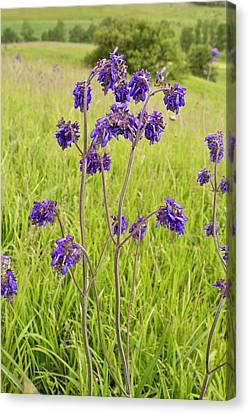Romania Canvas Print - Nodding Sage (salvia Nutans) In Flower by Bob Gibbons
