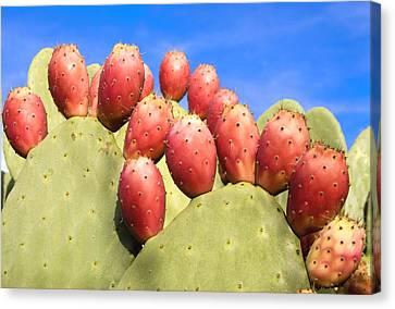 Nopales Cacti And Tunas Canvas Print by Martin Alfaro