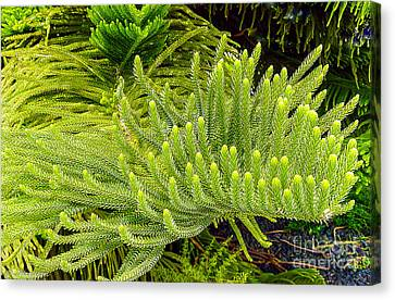 Norfolk  Island  Pine In California Canvas Print by Bob and Nadine Johnston