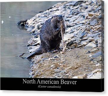 North American Beaver Canvas Print