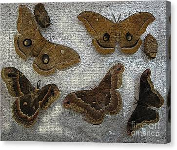 Promethea Canvas Print - North American Large Moth Collection by Conni Schaftenaar
