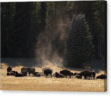 North Rim Bison Of The Grand Canyon Canvas Print by Alex Cassels