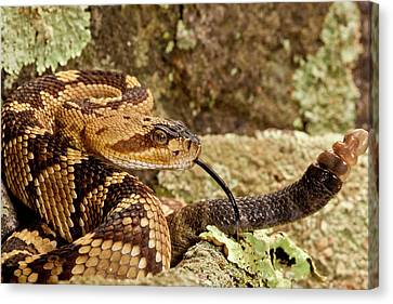 Northern Black-tailed Rattlesnake Canvas Print by David Northcott