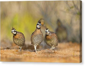 Quail Canvas Print - Northern Bobwhite Quail (colinus by Larry Ditto
