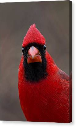 Northern Cardinal - 6393 Canvas Print