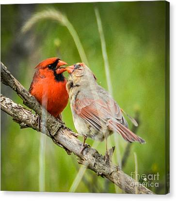 Northern Cardinal Male And Female Canvas Print