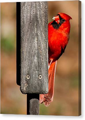 Canvas Print featuring the photograph Northern Cardinal by Robert L Jackson