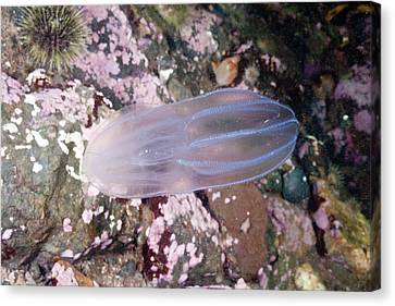 Northern Comb Jelly Canvas Print by Andrew J. Martinez