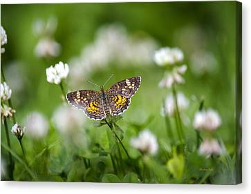 Northern Crescent Butterfly Canvas Print by Christina Rollo