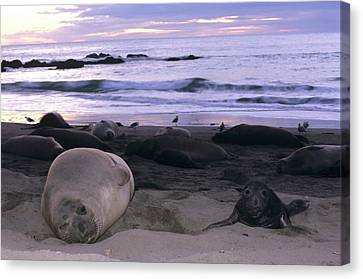 Northern Elephant Seal Cow And Pup At Sunset Canvas Print by Don Kreuter