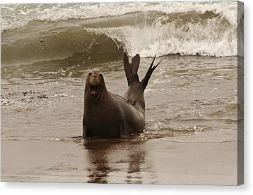 Canvas Print featuring the photograph Northern Elephant Seal by Lee Kirchhevel