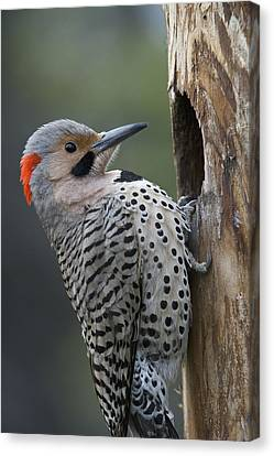 Northern Flicker At Nest Cavity Alaska Canvas Print by Michael Quinton