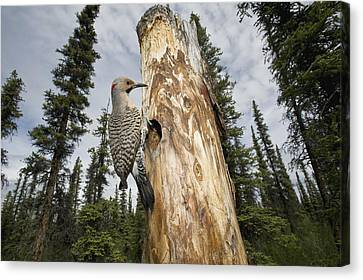 Northern Flicker At Nest Cavity Canvas Print by Michael Quinton